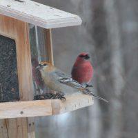 Pine Grosbeak pair on feeder