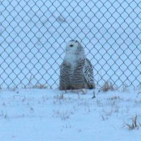 Snowy Owl in Superior, WI