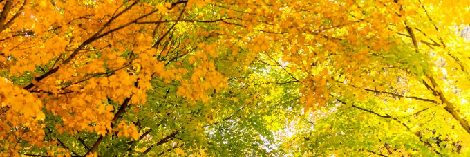 Yellow and orange leaves in trees